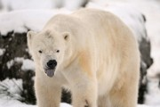 Zac Unger's New Novel Reveals Polar Bears Not in as Bad The Condition as Portrayed